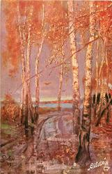 autumn colours, many birches