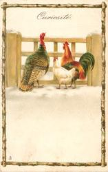 CURIOSITE. turkey & two chickens look through gate, birchwood surround