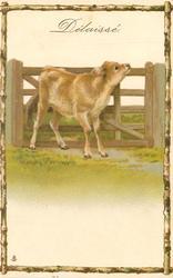 DELAISSE  calf