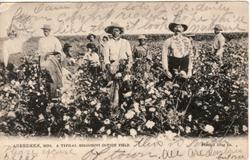 A TYPICAL MISSISSIPPI COTTON FIELD